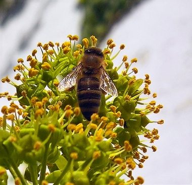 bee on ivy