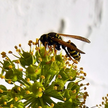 wasp on ivy